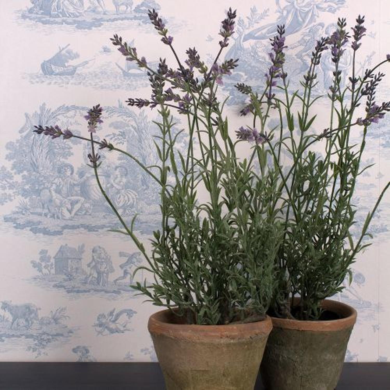 Lavender in pot